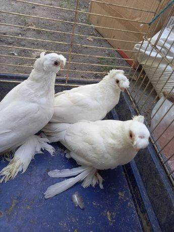 Продам белых голубей