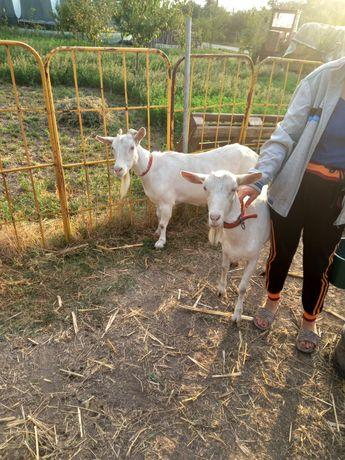 Vând capre Saneen