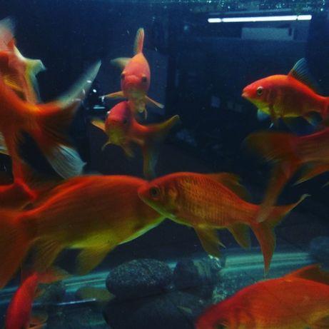 Золотая рыбка. Навои Торайгырова