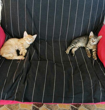Donez 2 pisici de 6 saptamani