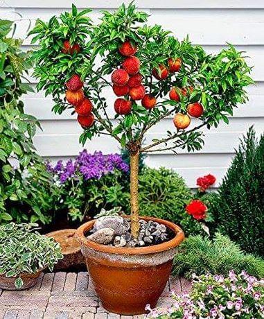 Мини овощни плодни дръвчета / коллони дръвчета