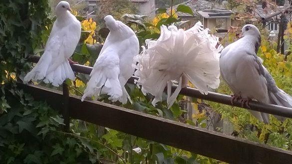Бели гълъби за сватби