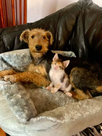 Catelusa Airedale Terrier