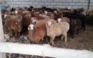 Продам овцы кой бараны марка токты от 35000