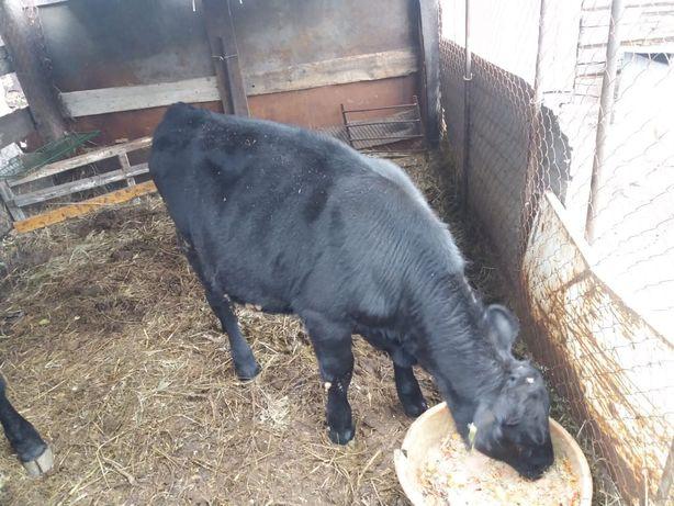 Продам бычков 8 и 9 месяцев