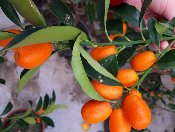 Kumquat Sicilia fructe