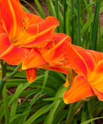 Рассада лилейник многолетние цветы
