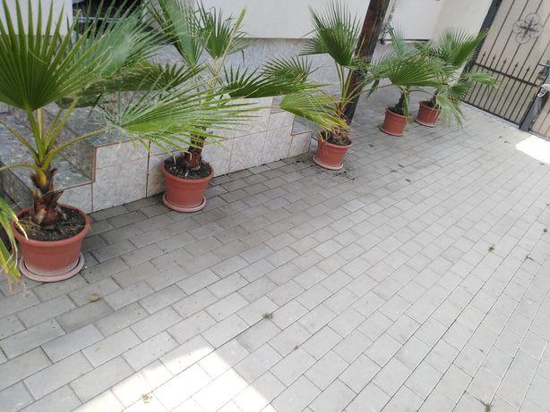 Palmieri in jur de 1.70m