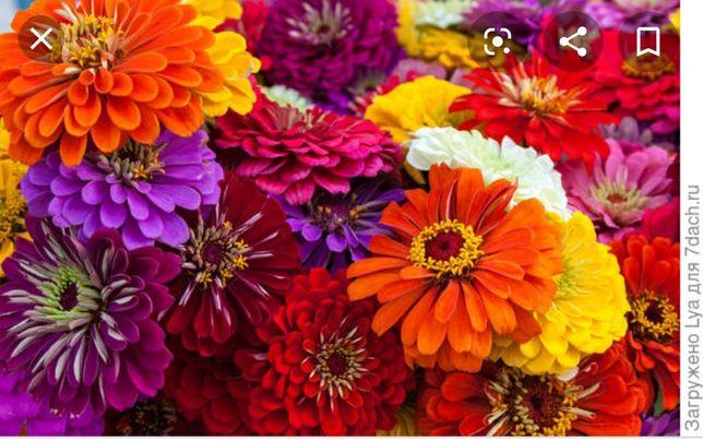 Рассада цветов бархатцы