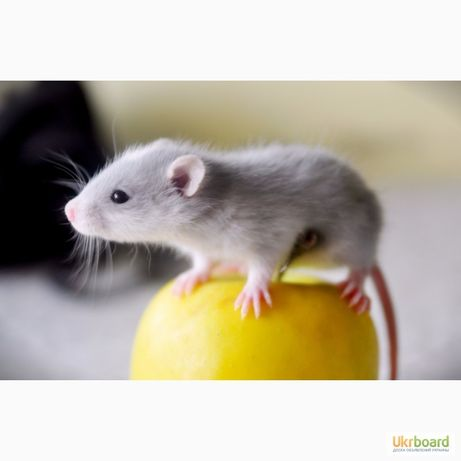 Продам декоративных крысят