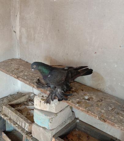 Продам голубей столбовики