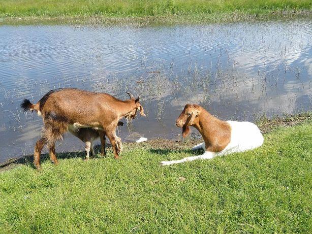 Lapte si branza de capra, lapte si branza de vaca, livrare inclusa