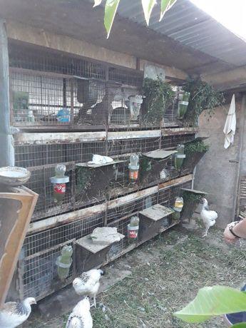 Vand urgent 70 iepuri Berbec german, uriaș german, albastru vienez