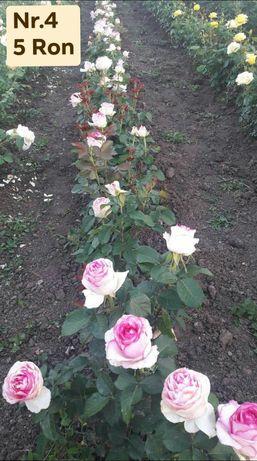 Trandafiri teahibrizi (pentri fir)