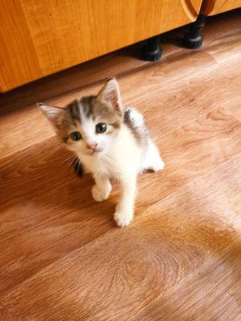 Отдам даром милые кошечки хороша девочки мать шотландка  отец британец