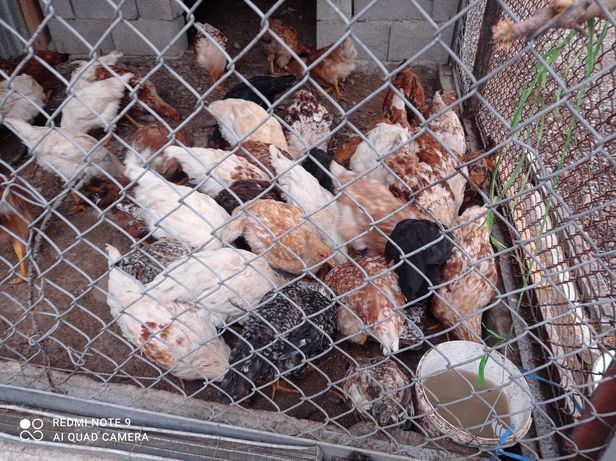 Продам цыплята.   .