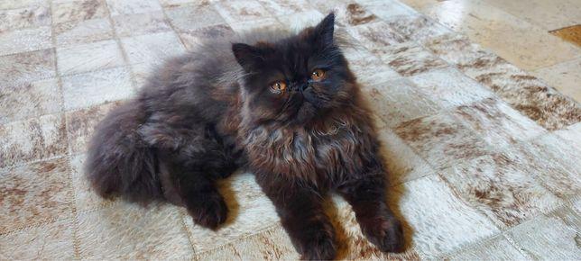 pisici persane extremale