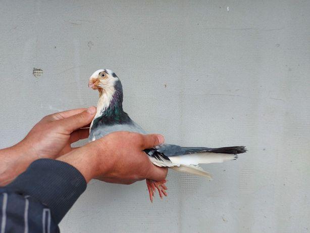 Porumbei jucatori de galati,galateni