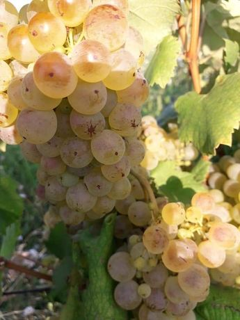 Vand struguri de vin productie 2021