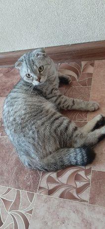 Кошка шотландская веслоухая