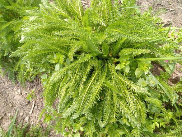 Семена Бял равнец Achillea millefolium