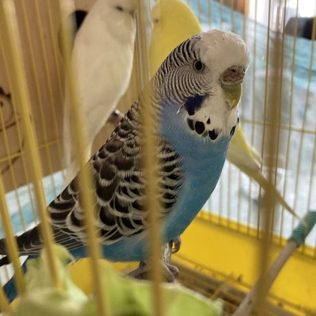 Выставочный волнистый попугай самка чех