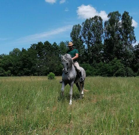 Cal armăsar andaluz excepțional