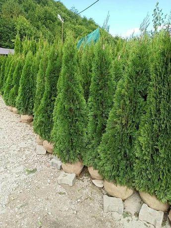 Tuia plante verzi la cele mai bune prețuri
