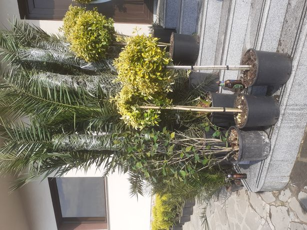 Plante ornamentale și amenajez spații verzi tuia