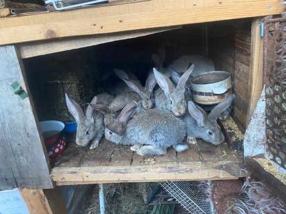 Заешко месо целогодишно. /зайци/-биологично чисто!!!