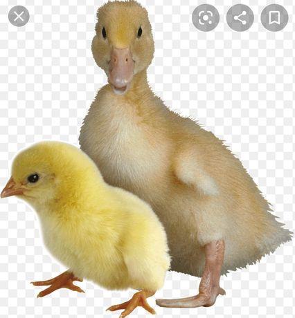 Продам утят и цыплят