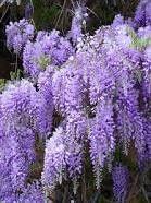 seminte glicina /planta cu flori ca de salcâm
