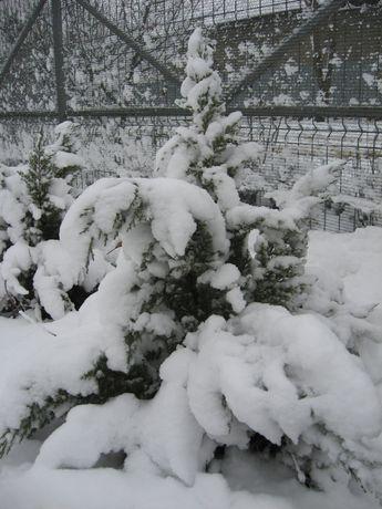 Ienupar f. decorativ verde si iarna (si gard viu sau scop terapeutic)