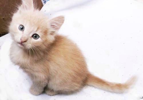 Отдам персиковых котят в добрые руки