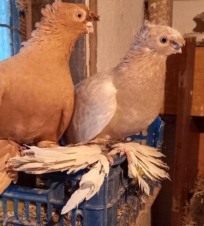 Продам статных павлинов и голубей разных мастей