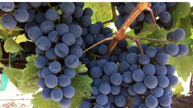 Merlot si Semson- struguri de vin