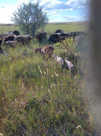 Продам козу с козлятами и козлят 5 месячных