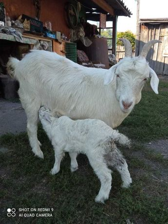 Коза и козленок..