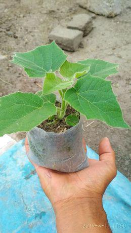 Павловния саженцы быстро растущие деревья сорт Shan tong