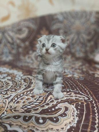 Продам котят вислоухой