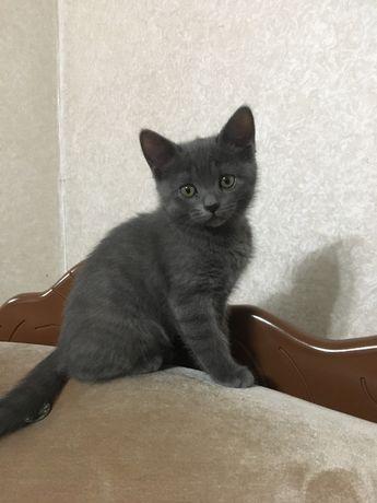 Британские котята. Котенок (девочка)