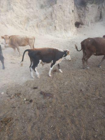 Бұқалар сатылады  оптом быки продаются