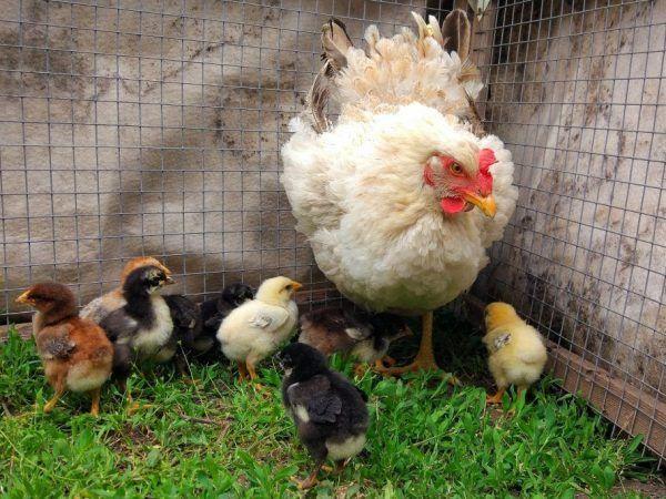 Продам цыплят срочно