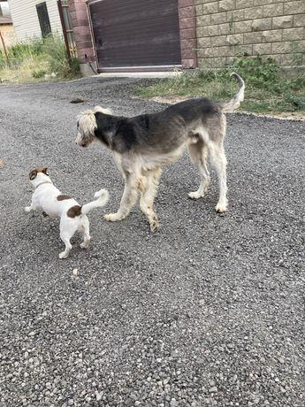 Собака породы Тазы или Казахская борзая