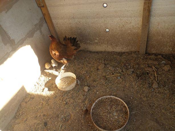 Продам курицы домашние