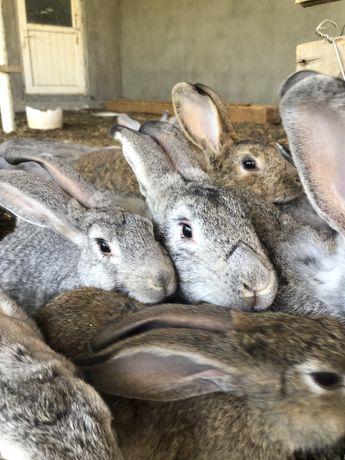Кролики Кояндар
