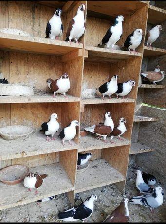 Vând porumbei Jucători de Galați