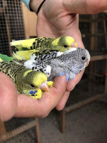 Papagali perusi din crescătorie