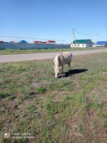Корова,тёлка,бычки,телята,мясо