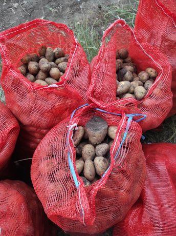 На корм скоту Мелкий картофель